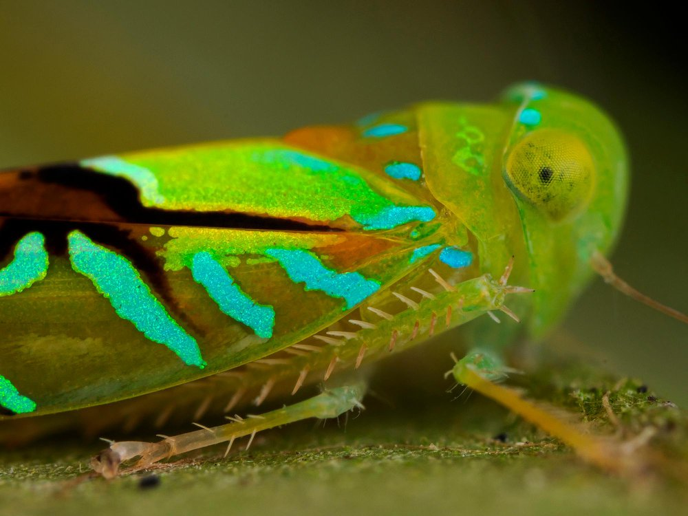 cicadellida