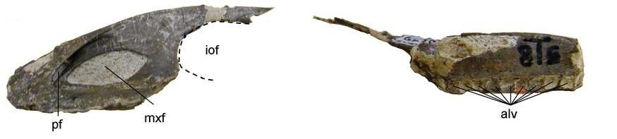20110520083252troodontid-jaw.jpg