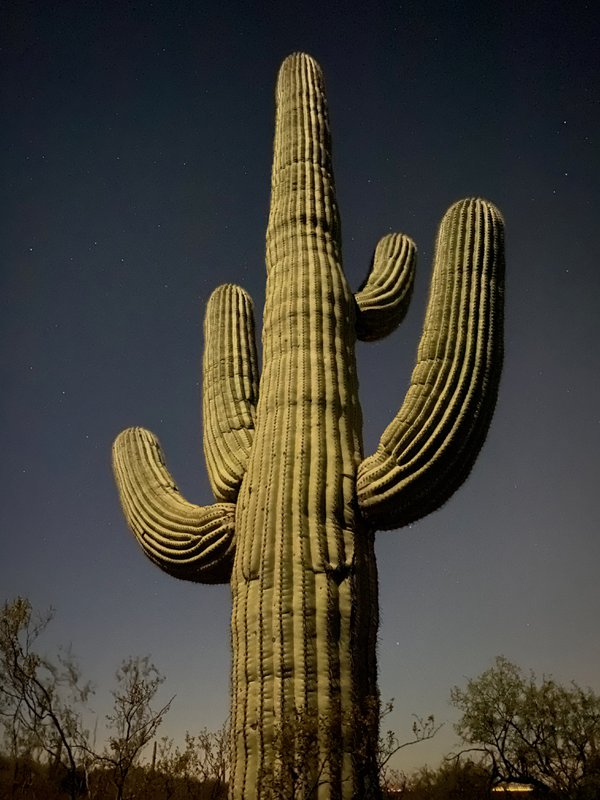 A saguaro at night in Saguaro National Park. thumbnail