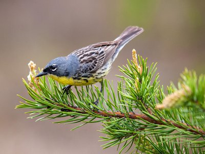 The Kirtland's warbler is one of North America's most endangered bird species.