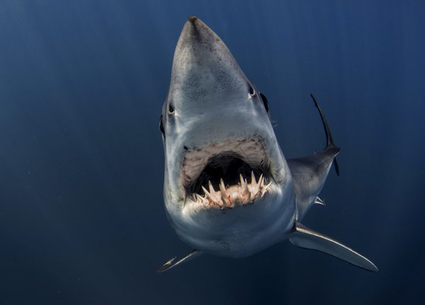 Vertical Approach of a Mako Shark thumbnail