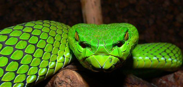Gumprechts green pit viper