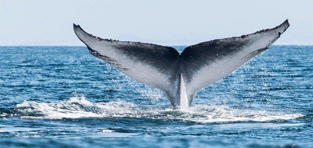 Blue whale earplugs can reveal some of these aquatic giants' life events.