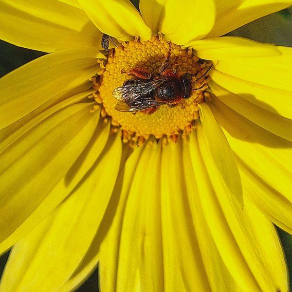 Anthophila on top of a daisy flower. thumbnail