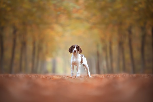 Mia - English springer spaniel thumbnail