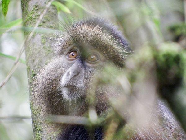 Golden Monkey thumbnail