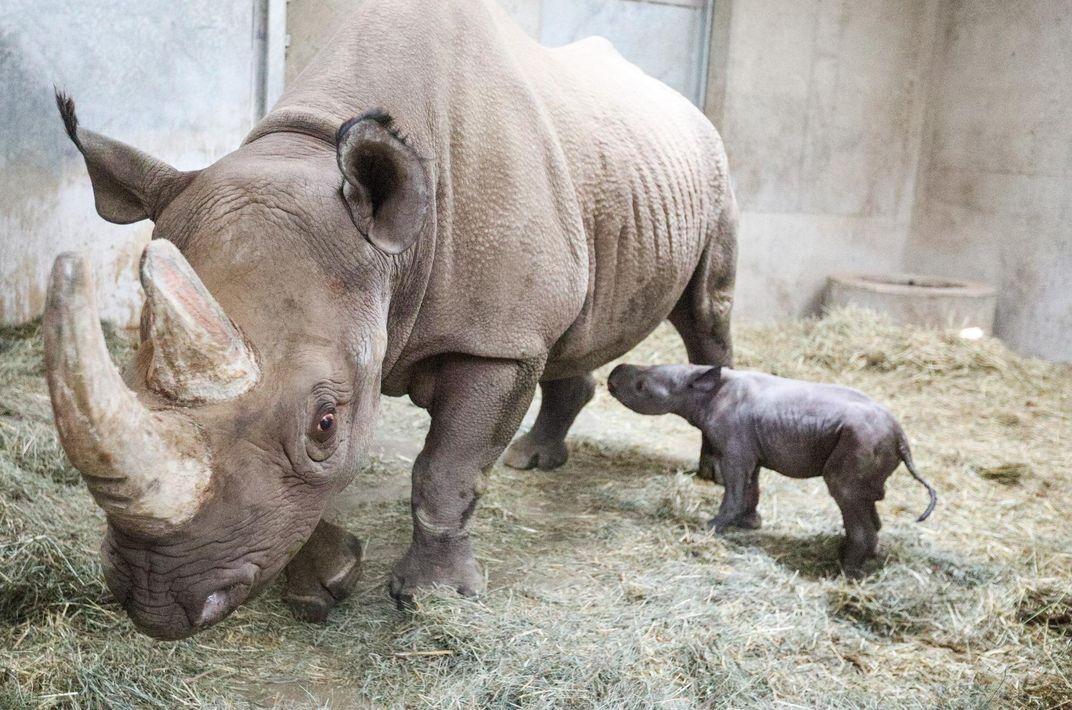 Baby Black Rhino Born at Michigan Zoo on Christmas Eve