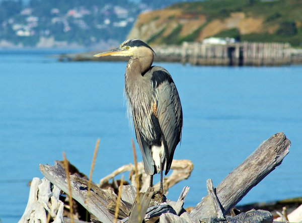 Great Blue Heron resting in the sun at Fort Casey on Whidbey Island, Washington thumbnail