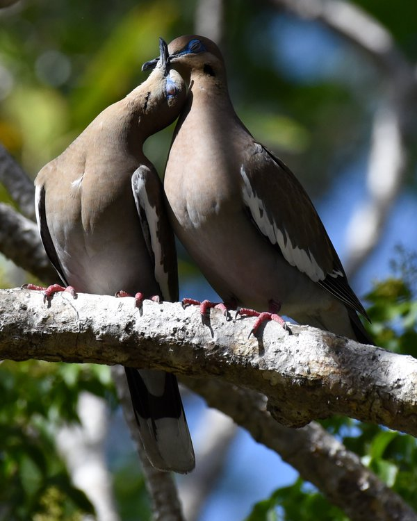 Couple: white-winged doves thumbnail