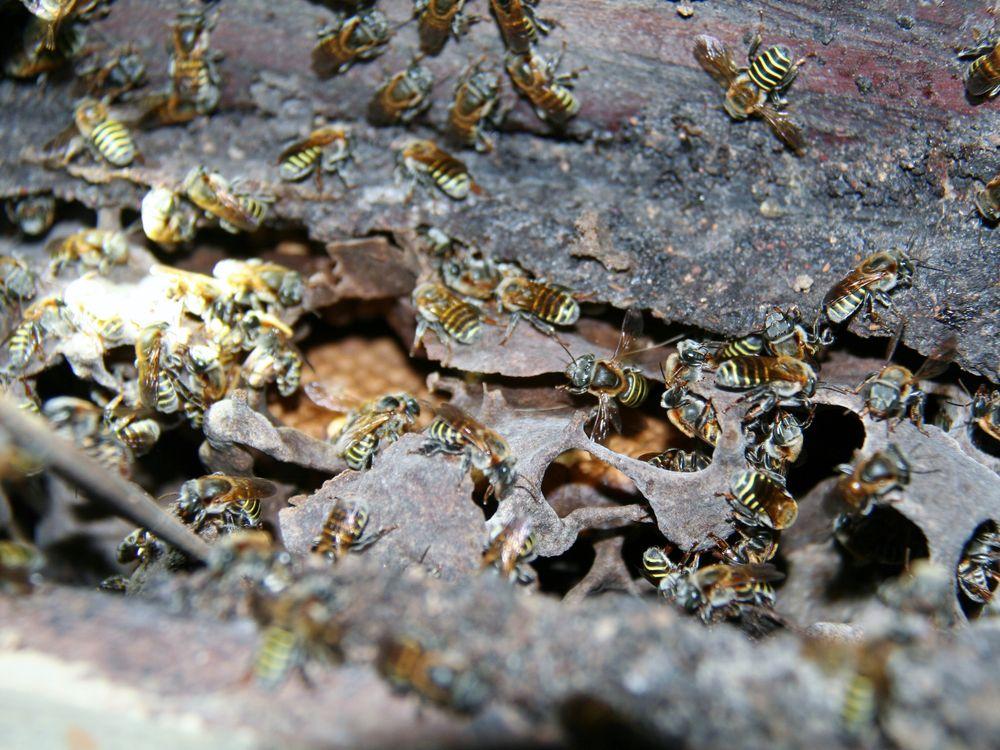 Bees-Honey-Making-Stingless