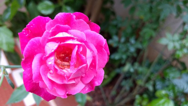 Rose with a sparkling rain drops thumbnail