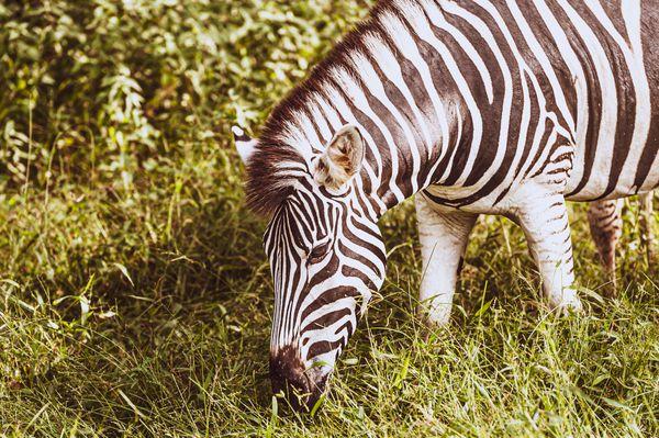 ZeZe the Zebra  thumbnail