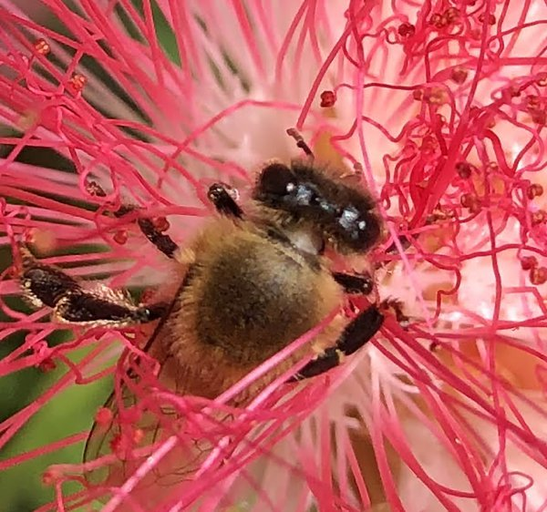 Honeybee immersed in the job thumbnail