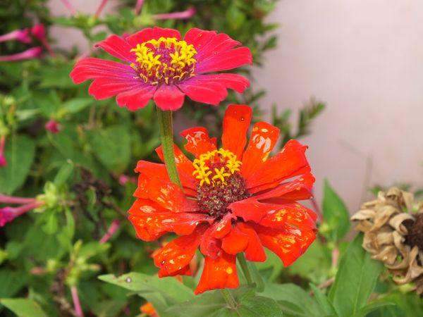 Lovely Xenia Flowers at my Mom's mini garden. thumbnail