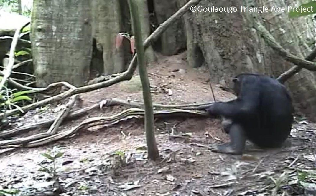 Chimpanzees' Termite Fishing Habits Differ by Regional Groups