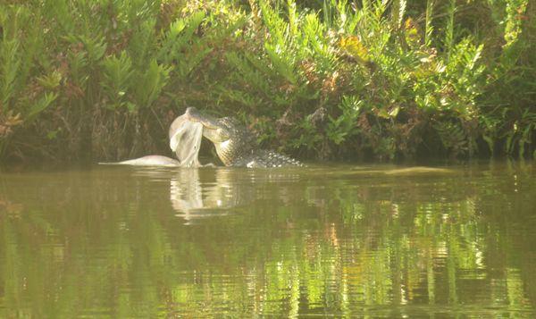 Florida gator vs. Dolphin thumbnail