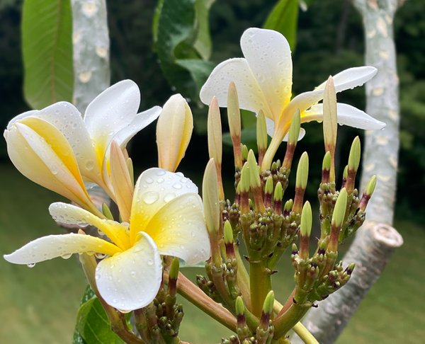 Water droplets resting on a plumeria bloom thumbnail
