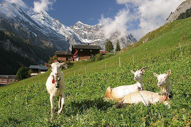 Goats in Gimmelwald Switzerland