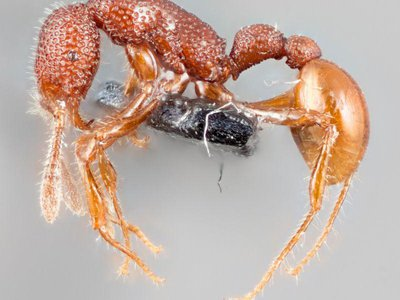 Behold T. Rex the ant