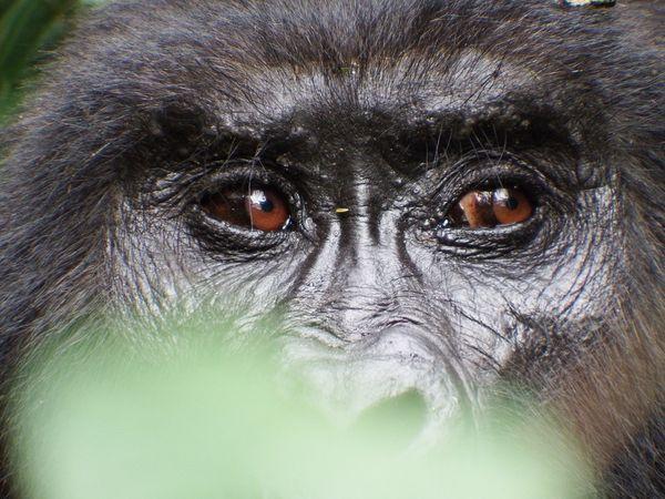 Gorilla Eyes thumbnail