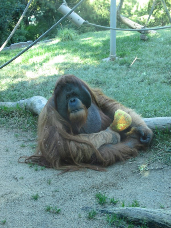 Orangutan at San Diego Zoo thumbnail