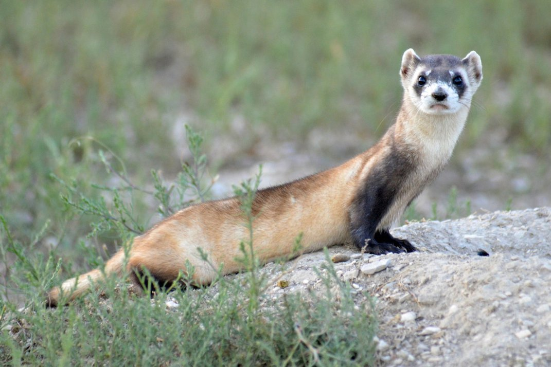 A black-footed ferret stands on a rock