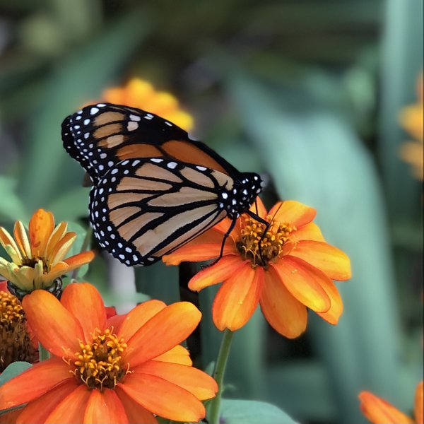 Monarch Butterfly thumbnail