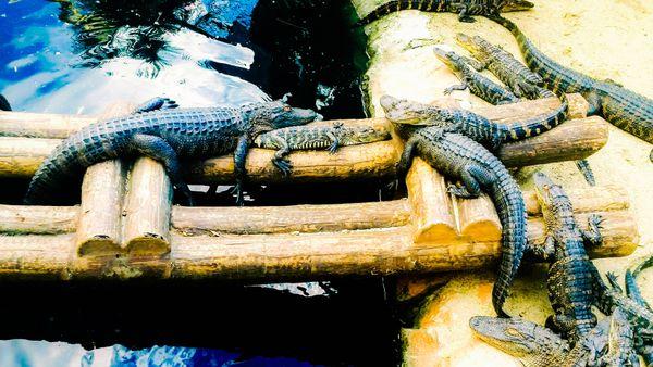 Alligators  soaking up the sun thumbnail