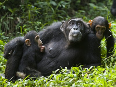 A chimpanzee (Pan troglodytes) mother resting with her children in western Uganda.