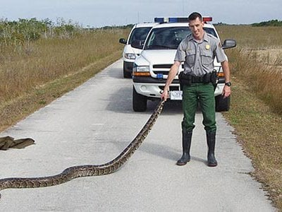 South Florida has a problem with giant pythons as demonstrated here by a ranger holding a Burmese python in the Everglades.