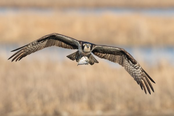 Osprey brings home lunch thumbnail