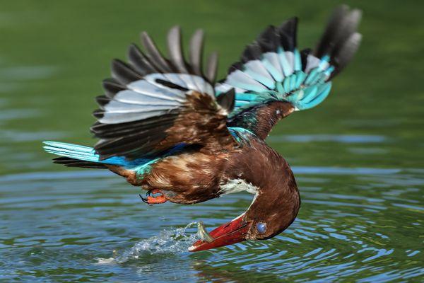 White Throated Kingfisher fishing thumbnail