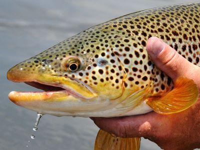 A brown trout caught in Seedskadee National Wildlife Refuge