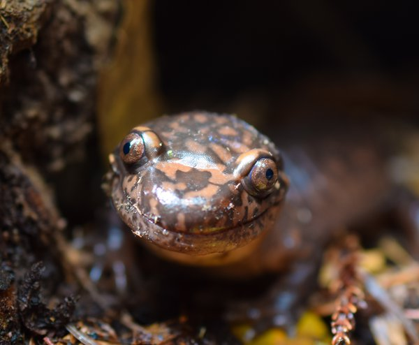 A giant coastal salamander smiles for the camera.  thumbnail