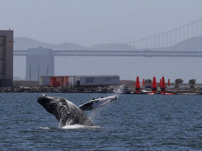 A humpback whale breaches off the coast near Alameda, California. Ships collide and kill an estimated 80 endangered whales a year off of the West Coast.