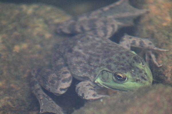 Mr. Frog thumbnail