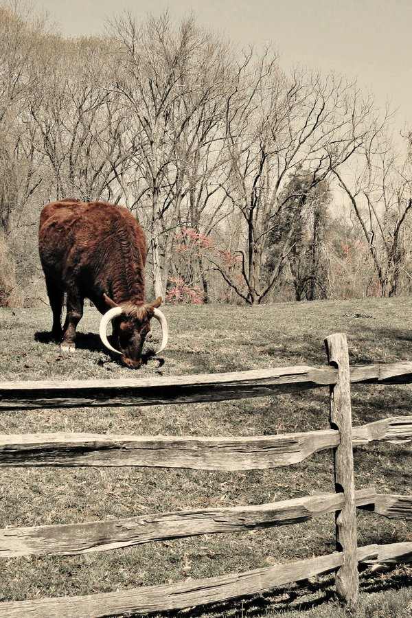 Steer at Mount Vernon thumbnail