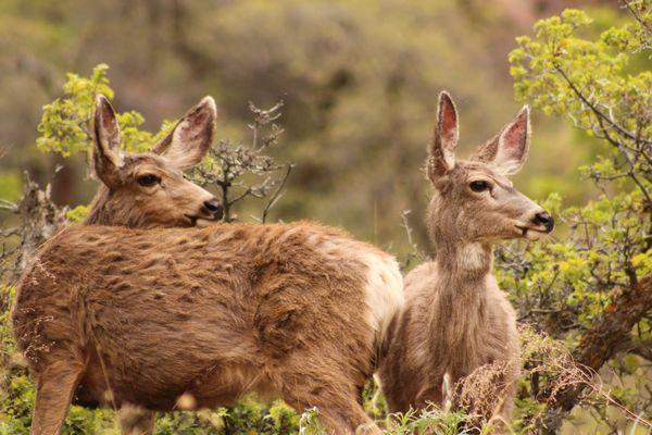 Zion Mule Deer thumbnail