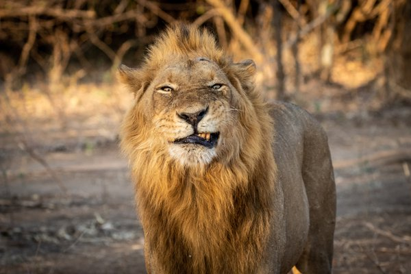 A beautiful male lion looking like he wasn't that happy to see us.  thumbnail