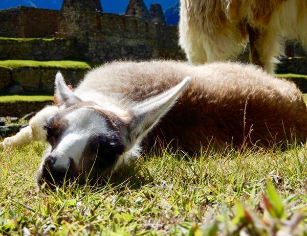 Baby Llama at Machu Picchu thumbnail