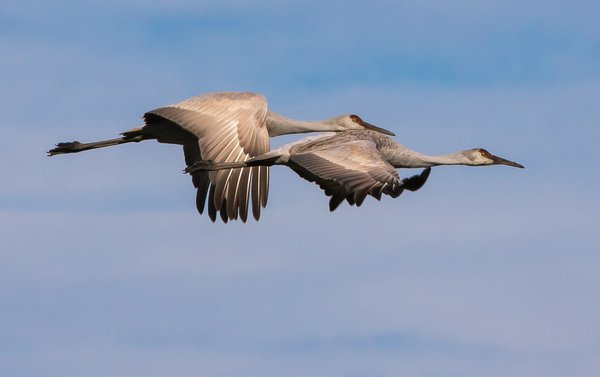 Sandhill Cranes in Flight thumbnail