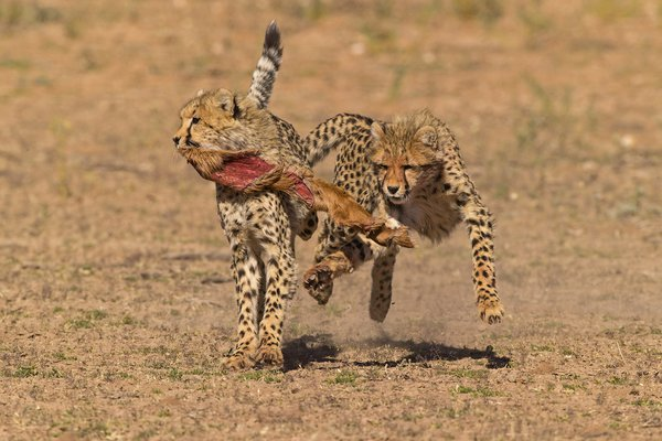 After having finished off a Springbok, these two Cheetah Cubs were chasing each other, each wanting to hold on to the'prize' - a piece of skin left over from the kill... thumbnail