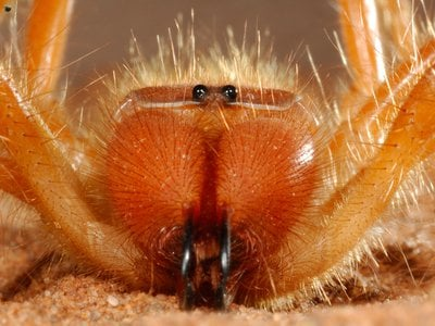 A close-up of a camel spider's multifaceted mouthparts, taken in Namibia's Namib Desert.