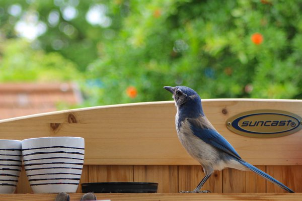 A blue jay perched on the top shelf of a wood potting bench thumbnail