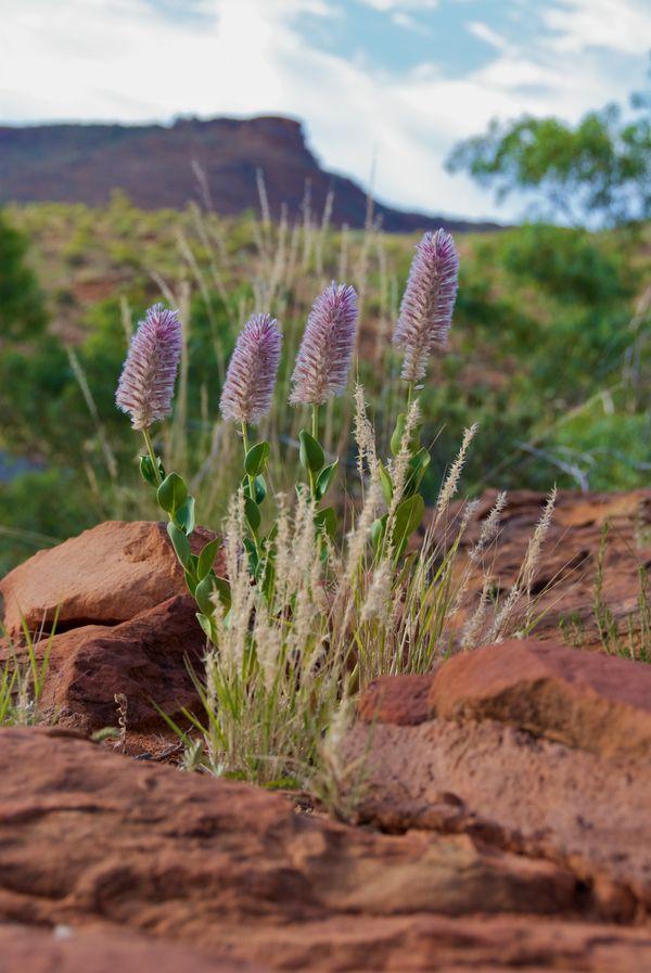 Wildflowers, Kings Canyon, Australia thumbnail