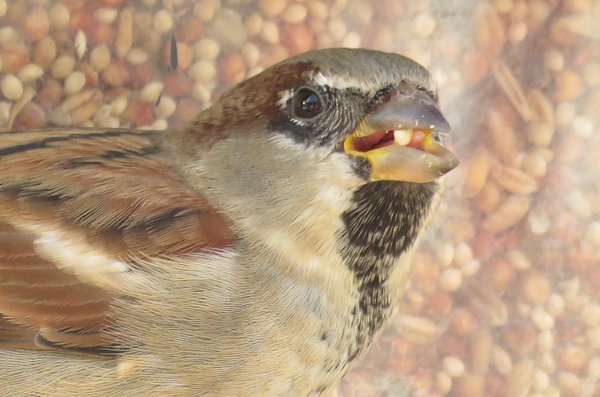 A bird eating a seed at bird feeder thumbnail