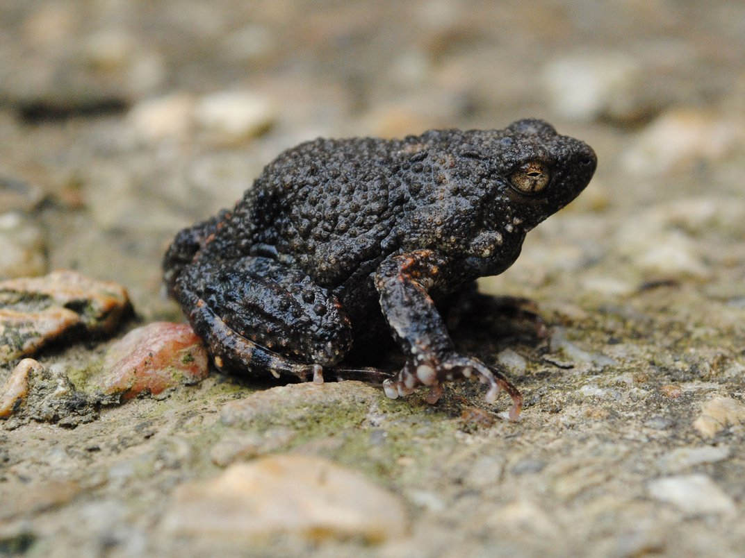 Frog Foam May Help Deliver Drugs to Human Skin