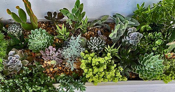 A Bed Of Cactus And Succulents  thumbnail