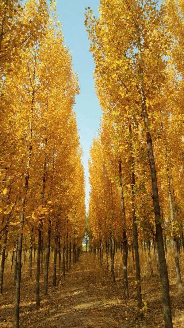 秋天金黄的树叶 thumbnail