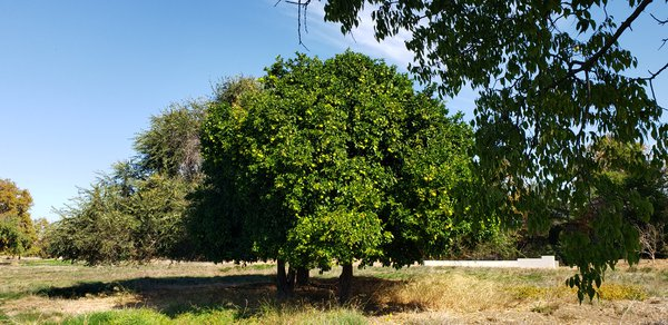 Apple tree in Guadalupe River Park thumbnail